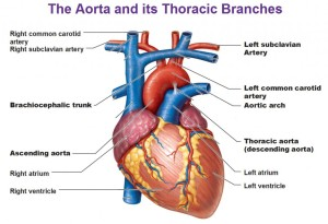 Heart and the Aorta